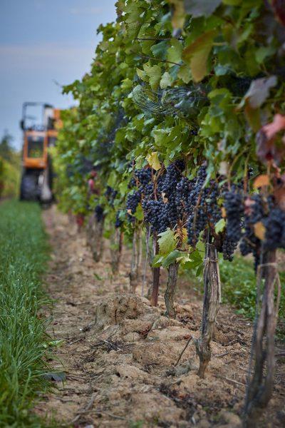 grapes harvester
